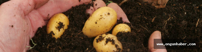 Konya Şeker, Bölgede Patates Üretimini 3'e Katladı